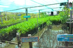 Planting area of baby mangroves
